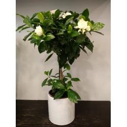 Gardenia dentroeidis - ΦΥΤΑ - Ανθοπωλειο Χαλανδρι