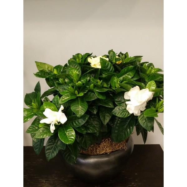 Gardenia - ΦΥΤΑ - Ανθοπωλειο Χαλανδρι
