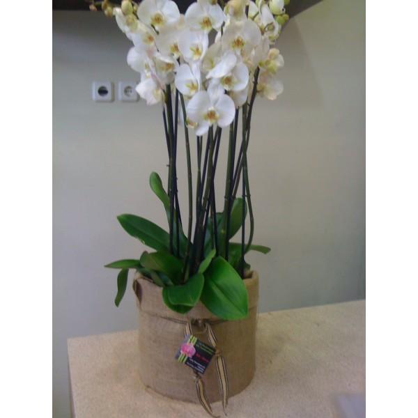 Orchids phalaenopsis - ΦΥΤΑ - Ανθοπωλειο Χαλανδρι